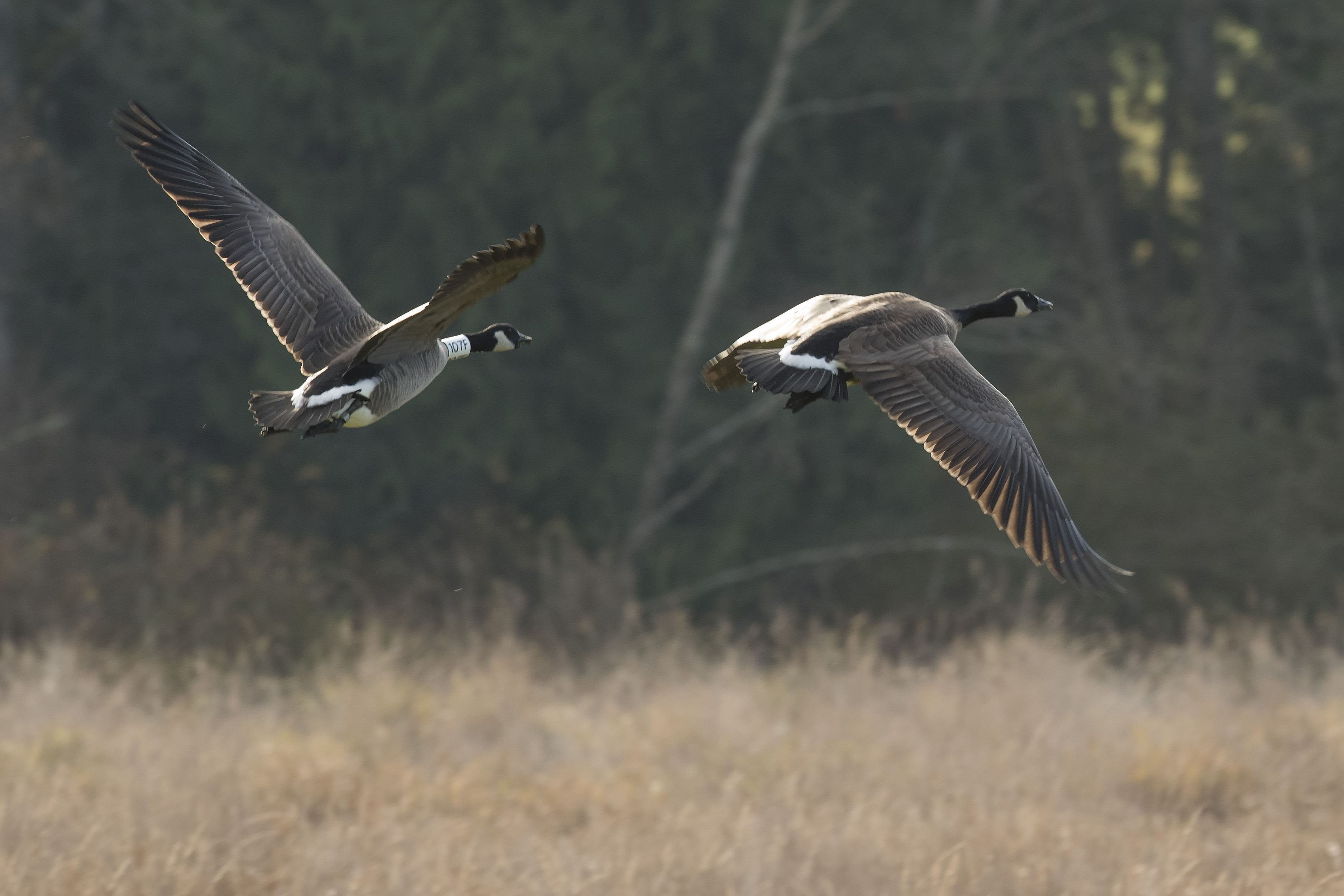A pair of geese departing the fields adjacent to Mountain View Elementary - Ken Langelier Photo