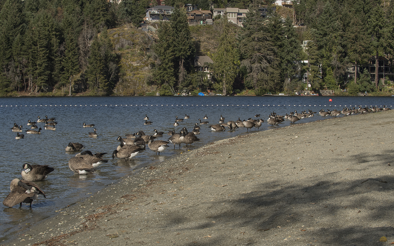 Long Lake is a favourite fall hangout for geese - Ken Langelier Photo