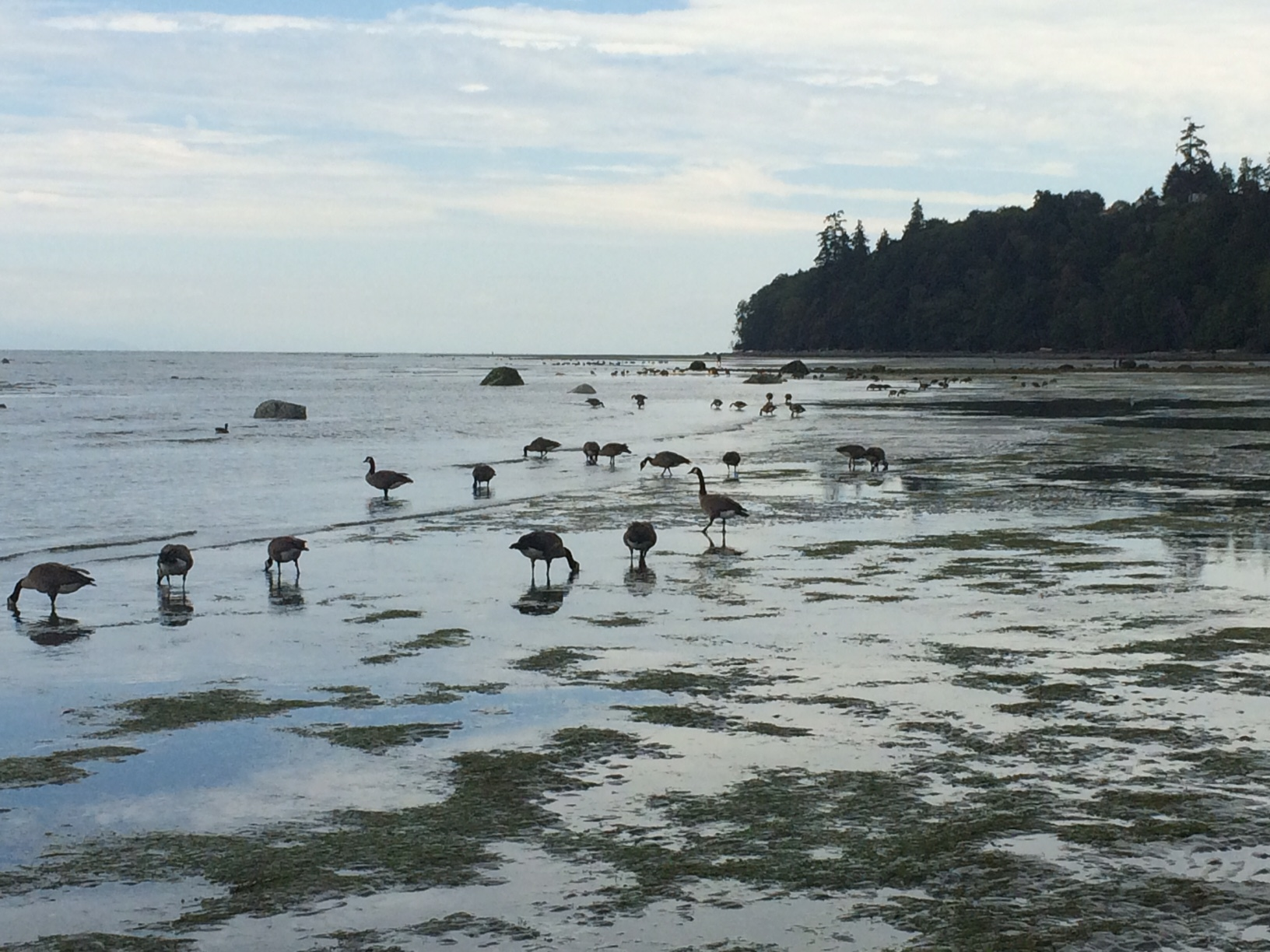 During the summer, large flocks of geese congregate along the North Nanaimo and Lantzville shorelines to feed on eelgrass - Stew Pearce photo