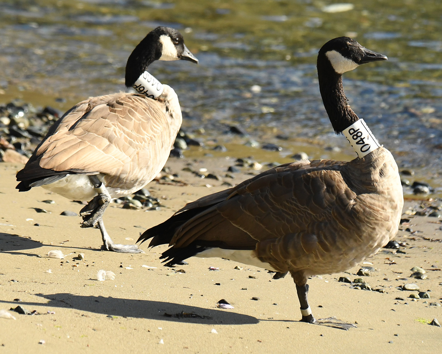 Hammond Bay geese loafing right where they were banded - Morningside Park, Hammond Bay. Photo c/o Ken Langeliers